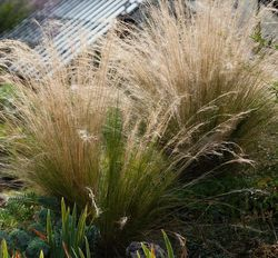 Vedergras - Stipa Tenuifolia 'Ponytails'