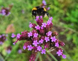 Verbena ijzerhard vlindertuin bijenborder