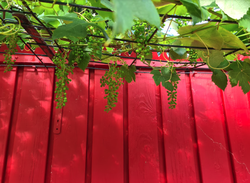 Druifplant klimplant