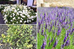 Hortensia lavendel ilex borderpakket