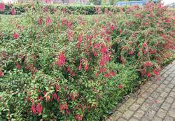 Tuinplanten borderpakket bloeikleur rood vaste plant