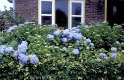 Hortensia - Hydrangea macrophylla 'Mariesii Perfecta'