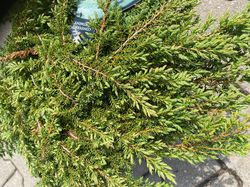 Jeneverbes - Juniperus communis 'Green Carpet'