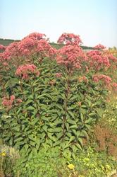 Koninginnenkruid - Eupatorium maculatum 'Atropurpureum'