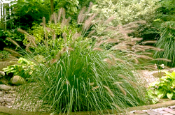Lampenpoetsergras - Pennisetum alopecuroides