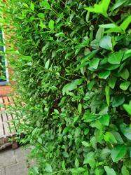 ligusterhaag aanplanten en kopen