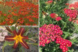 Bijvriendelijke tuinplanten - Rood - Zon