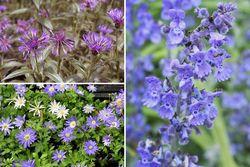 Vaste planten borderpakket blauwe tuinplanten