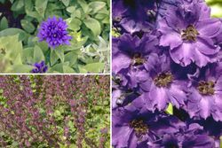 Borderpakket paarse vaste planten tuinplanten