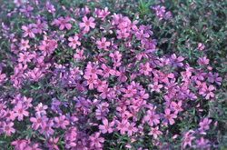tuinplanten borderpakket roze bloeikleur