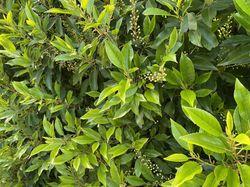 Portugese Laurier blad en bloei