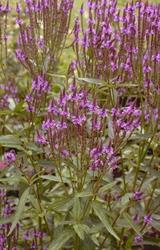 bloemen paars vlindertuinen