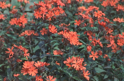 Koekoeksbloem tuinplant borderpakketten