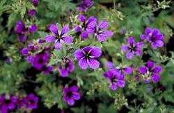 Bijzondere paars roze tinten kleuren tuinen