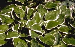 Prachtige bladeren schaduw planten