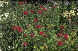 Rood vaste planten rood borderpakketten
