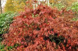 Prachtige bladeren esdoorn japanse