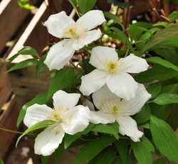 grandiflora witte clematis bloei bloemen wit