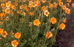 geum oranjen tuinplanten