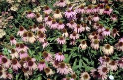 Zonnehoed vaste planten borderpakket