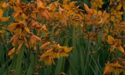 Prachtige tuinplanten montbretia