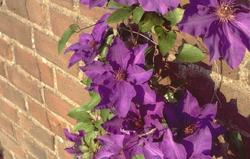 prachtige clematis bloemen