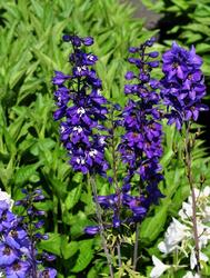ridderspoor tuinplanten in de tuin