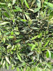 bladstructuur olijfboom