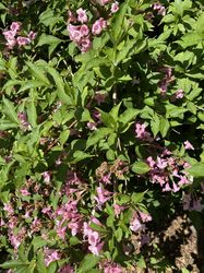 weigelia heester struik klant foto roze bloei
