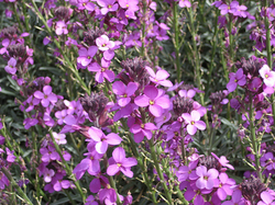 Steenraket - Erysimum linifolium 'Bowles Mauve'