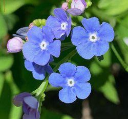 Vergeet mij niet blauw borderpakket bloeiende vaste planten zon
