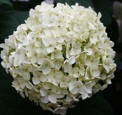 Hortensia annabelle bloem grootte