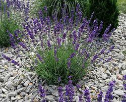 Hidcote tuinplanten lavendula