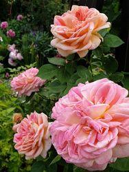 Roze klimrozen kopen yarinde kwaliteit rozen