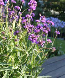 Paarse bloemen vlindertuin planten tuinplanten borderplanten