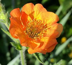 Geum oranje tuinplanten borderpakket