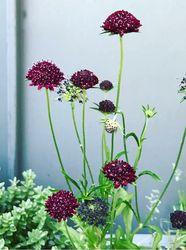 rode druif kruid prachtige vaste planten