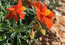 Vlindertuin nagelkruid oranje