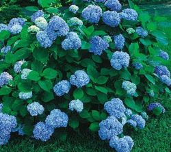 Hortensia blauwe bloemen zuurminnende struik