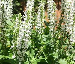 Tuinplanten borderpakketten wit bijenplanten