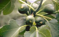 Vijgenboom - Ficus carica