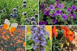 oranje bloei vaste planten vlindertuin borderpakket