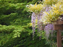 Klimplanten blauwe regen pergola