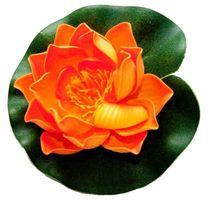 Velda Drijvende Vijverplant Lotus Oranje 10 cm