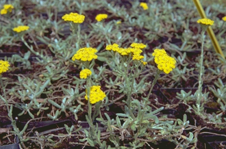 Duizendblad - Achillea tomentosa