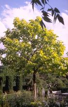 Trompetboom - Catalpa bignonioides 'Aurea'