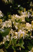 Japanse kamperfoelie - Lonicera japonica 'Halliana'