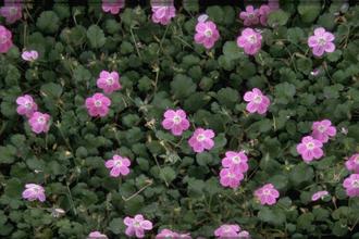 Reigersbek - Erodium x variabile 'Bishop's Form'