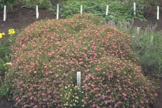 Meisjesogen - Coreopsis rosea 'American Dream'