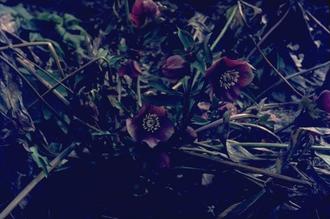 Nieskruid - helleborus 'Atrorubens'